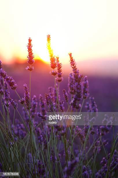 Lavendel Blumen und Sonnenuntergang