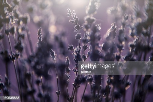 Lavender flowers background : Stock Photo