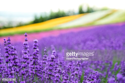 Lavender flowers blooming close-up (Purple field flowers) and Rainbow colorful flower background, Furano, Hokkaido in Japan : Stock Photo