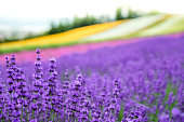 Lavender flowers blooming close-up (Purple field flowers) and Rainbow colorful flower background, Furano, Hokkaido in Japan