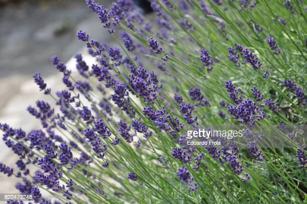 Lavender flowers in bloom