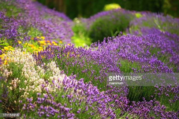 Terrific Lavender Coloured Stock Photos And Pictures  Getty Images With Interesting Lavender Garden With Lovely Garden Maintenance Ashford Kent Also Miniature Garden Accessories In Addition Garden Screening Panels And Orienta Gardens As Well As Fishing Garden Gnomes Additionally Ruislip Gardens Tube From Gettyimagescom With   Interesting Lavender Coloured Stock Photos And Pictures  Getty Images With Lovely Lavender Garden And Terrific Garden Maintenance Ashford Kent Also Miniature Garden Accessories In Addition Garden Screening Panels From Gettyimagescom