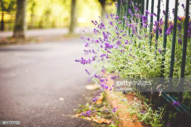 Lavender growing through fence