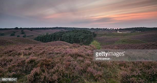 Lavender heath landscape, Veluwe Gelderland, Holland