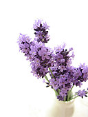 Lavender in milk bottle on white background
