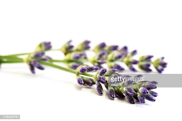 Lavendel auf weißem Hintergrund