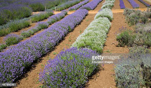Surprising Norfolk Lavender Stock Photos And Pictures  Getty Images With Lovable Lavender Plants At Norfolk Lavender Garden Center Attraction Heacham  Norfolk England With Extraordinary Sun Flower Garden Also Garden Rake Used For In Addition Priviledge Punjab Rajouri Garden And Timber Garden Furniture As Well As Making A Raised Garden Bed Additionally Small Garden Design Examples From Gettyimagescouk With   Lovable Norfolk Lavender Stock Photos And Pictures  Getty Images With Extraordinary Lavender Plants At Norfolk Lavender Garden Center Attraction Heacham  Norfolk England And Surprising Sun Flower Garden Also Garden Rake Used For In Addition Priviledge Punjab Rajouri Garden From Gettyimagescouk