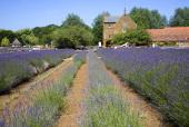 Lavender plants at Norfolk Lavender garden center attraction Heacham Norfolk England