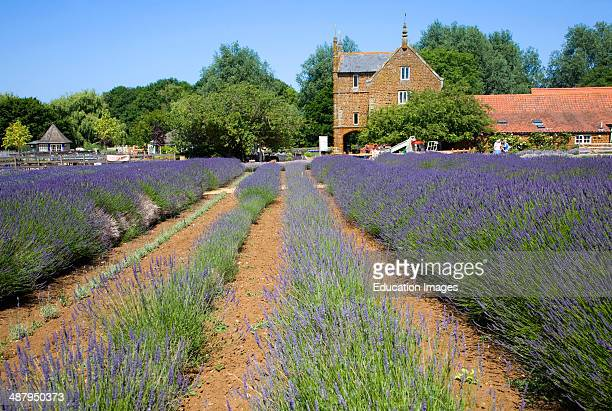 Terrific Norfolk Lavender Stock Photos And Pictures  Getty Images With Exquisite Lavender Plants At Norfolk Lavender Garden Center Attraction Heacham  Norfolk England With Beautiful Galvanised Garden Incinerator Also Garden Fence Ornaments In Addition Garden Centre Melton Mowbray And Bq Garden Storage Box As Well As Gardeners London Additionally Angel Garden Ornaments From Gettyimagescouk With   Exquisite Norfolk Lavender Stock Photos And Pictures  Getty Images With Beautiful Lavender Plants At Norfolk Lavender Garden Center Attraction Heacham  Norfolk England And Terrific Galvanised Garden Incinerator Also Garden Fence Ornaments In Addition Garden Centre Melton Mowbray From Gettyimagescouk