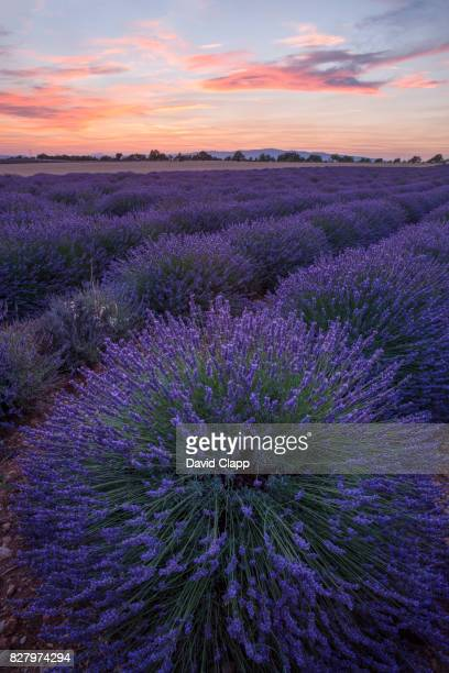 Lavender, Puimossion in Provence, France