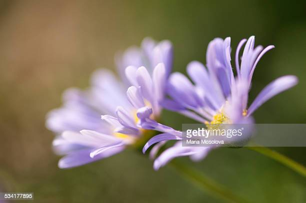 Lavender Swan River Daisy Flower Duo