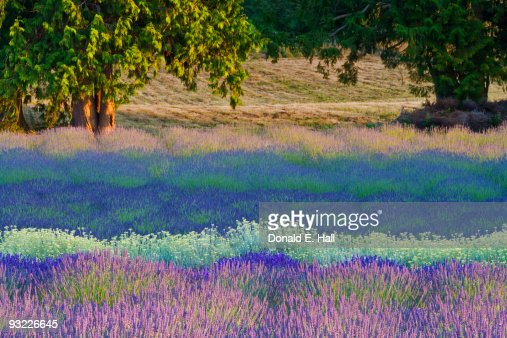 Lavenders Evoke Monet Feeling
