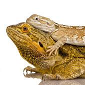 Lawson's dragon Pogona henrylawsoni