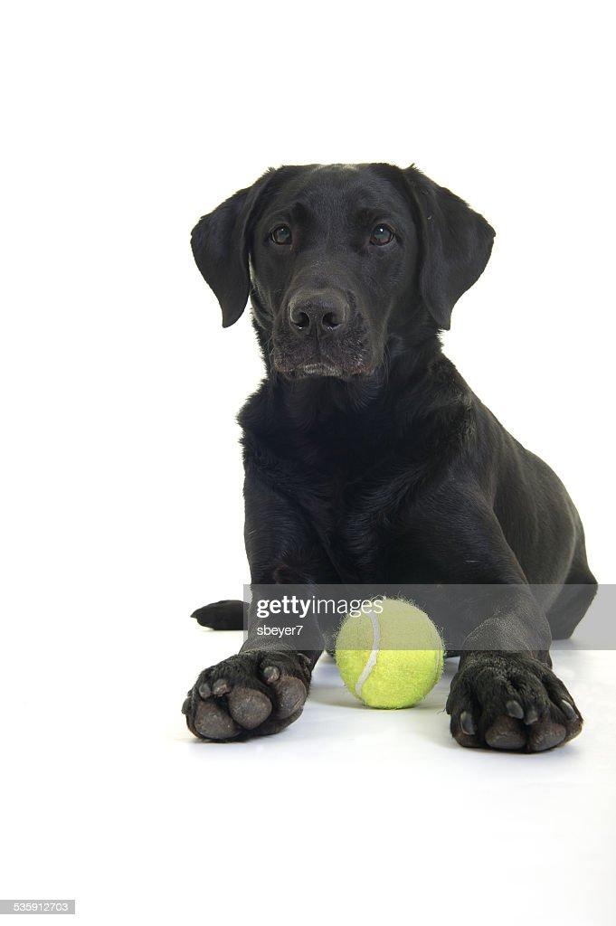 Establecer Labrador y de bola : Foto de stock