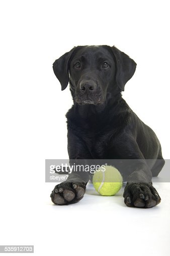Laying Labrador and Ball : Stock Photo