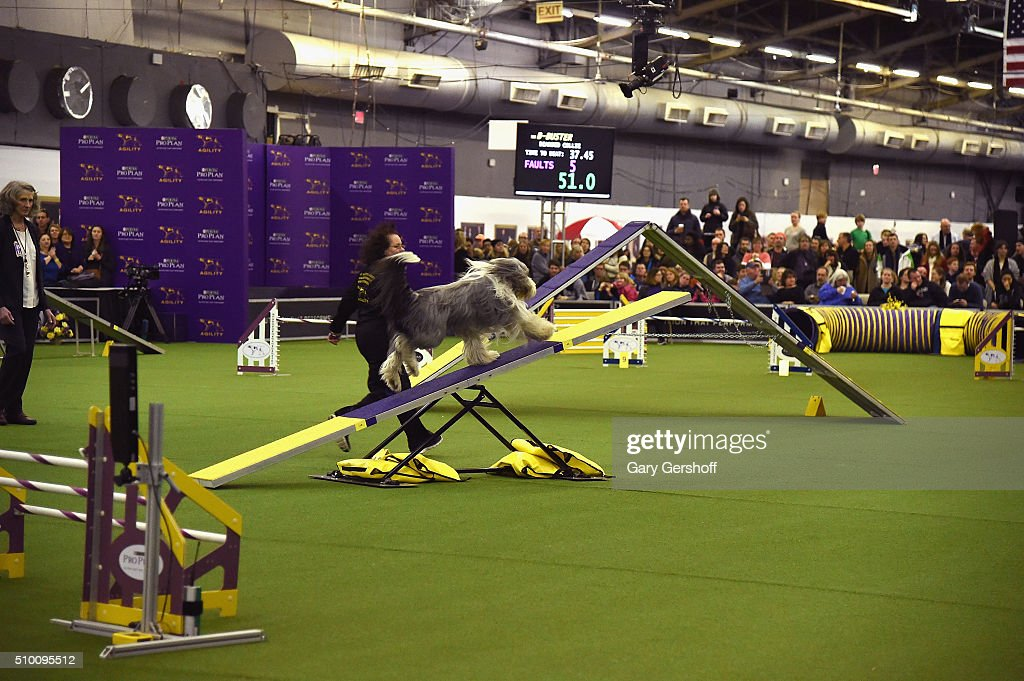 Layla, an Alaskan Malamute competes in the Westminster Kennel Club and AKC Meet and Compete at Pier 92 on February 13, 2016 in New York City.