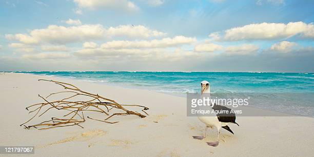 Laysan Albatross (Phoebastria immutabilis) on Midway Island beach, Northwestern Hawaiian Islands