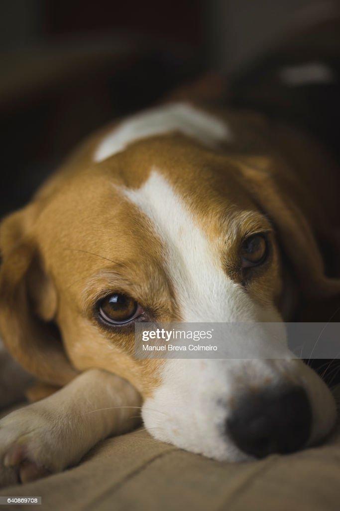 Lazy dog : Foto de stock