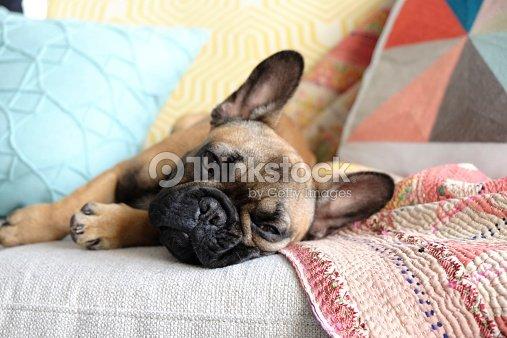 Lazy Französische Bulldogge Auf Couch Stock Foto Thinkstock