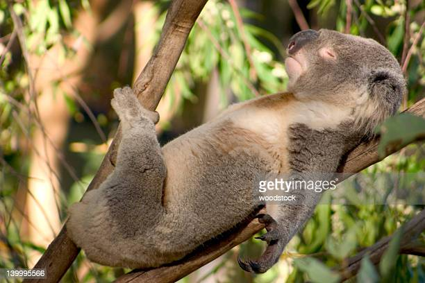 Koala sunbathing