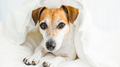 Sweet dreams dog Wishes you under white Comfortable bed linen.Enjoy your rest time