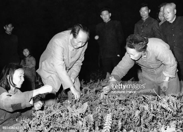 Le dirigeant de la République Populaire de Chine Mao Zedong au travail avec deux ouvrières ramasse des légumes lors de sa visite dans une coopérative...