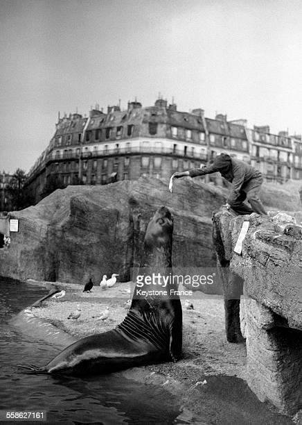 Le lion de mer nouvelle acquisition du Luna Park mange chaque jour plusieurs kilos de poissons frais à Paris France le 3 juin 1932