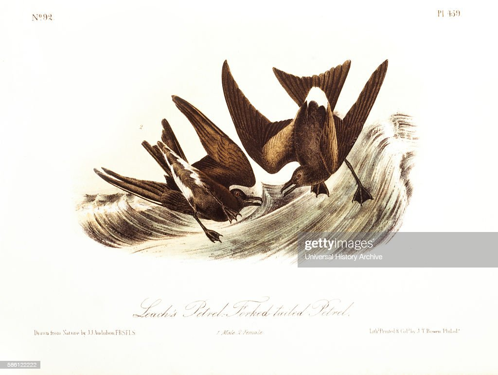Leach's Petrel ForkedTailed Petrel HandColored Engraving from Original by John James Audubon circa 1827