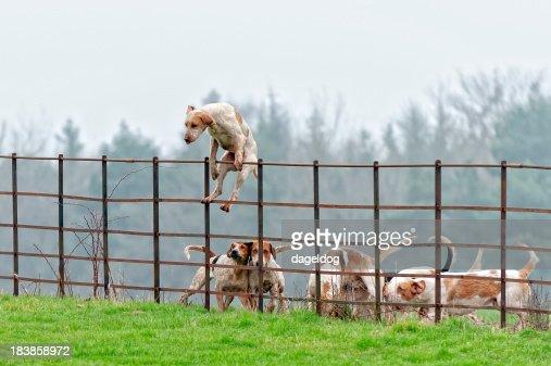 Lead pack cane salta una parete rurali in Inghilterra