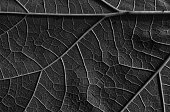 Fresh leaf converted to black and white with distinct granular structure, with visible veins and nerve structure. Abstract, interesting background and texture. Close, horizontal view.
