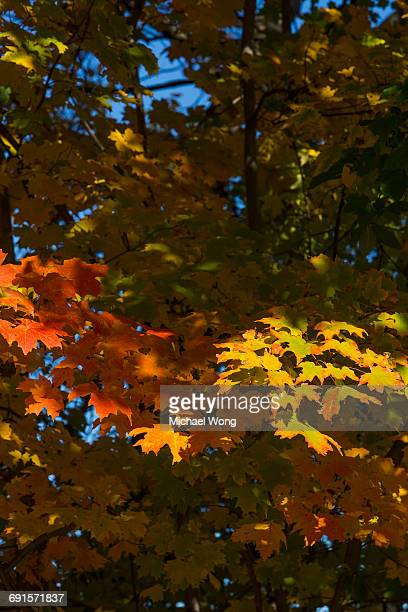 leaf branches during Fall foliage