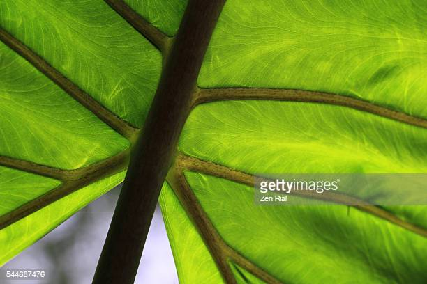 Leaf close up of veins and patterns - tropical green