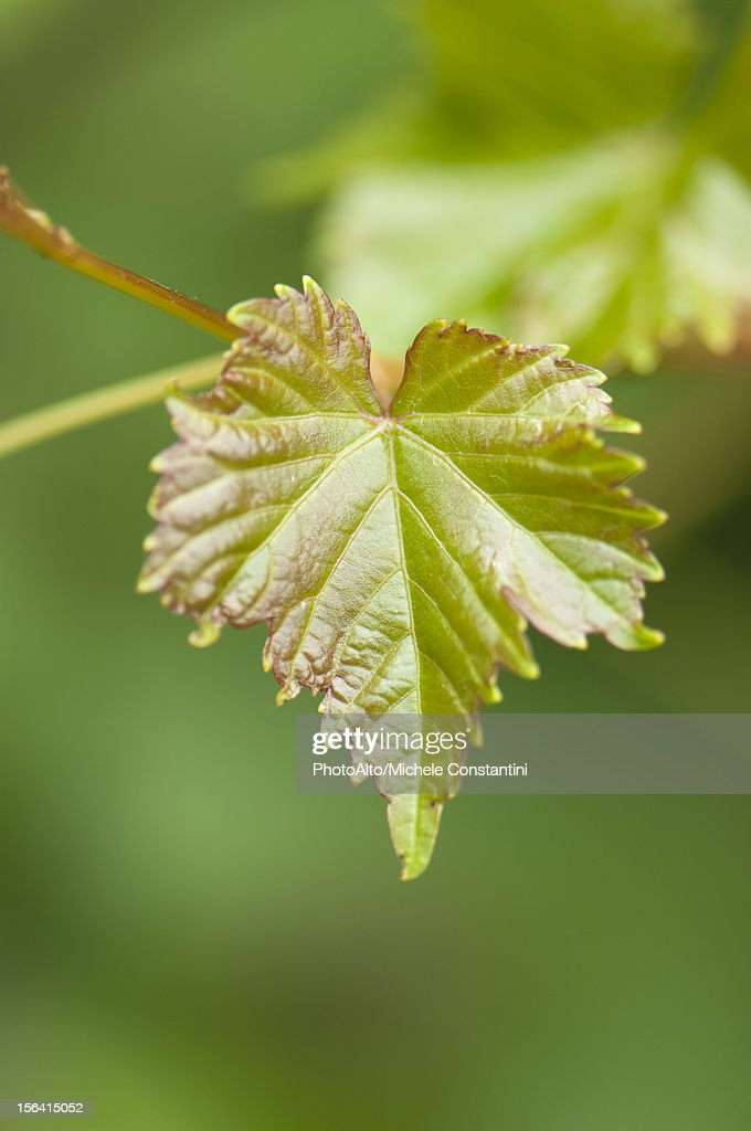 Leaf, close-up : Stock Photo