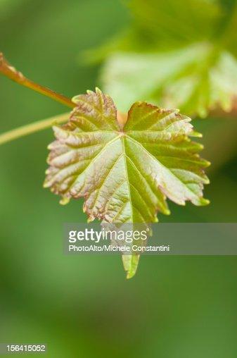 Leaf, close-up : Stock Photo