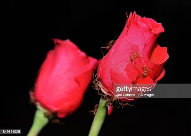 Leaf cutter ants make easy work of red roses as a Valentine's treat at Twycross Zoo Atherston Warwickshire