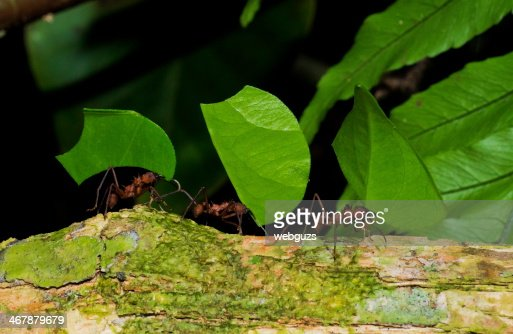 Leaf Cutter Ants Working Together Stock Photo Thinkstock