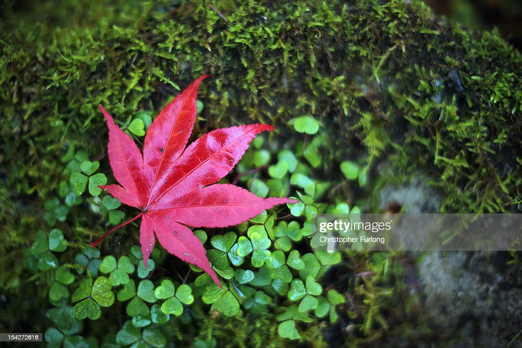 A leaf from an Acer tree turns a warm autumnal red at The National Trust's Tatton Park on October 17, 2012 in Knutsford, England. As summer draws to a close the cooler temperatures bring on the Autumn foliage colours.