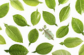 Leaf insect (Phyllium celebicum) amongst leaves of grapefruit, overhead view