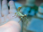 leaf insect in hand