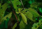 leaf insect on the tree