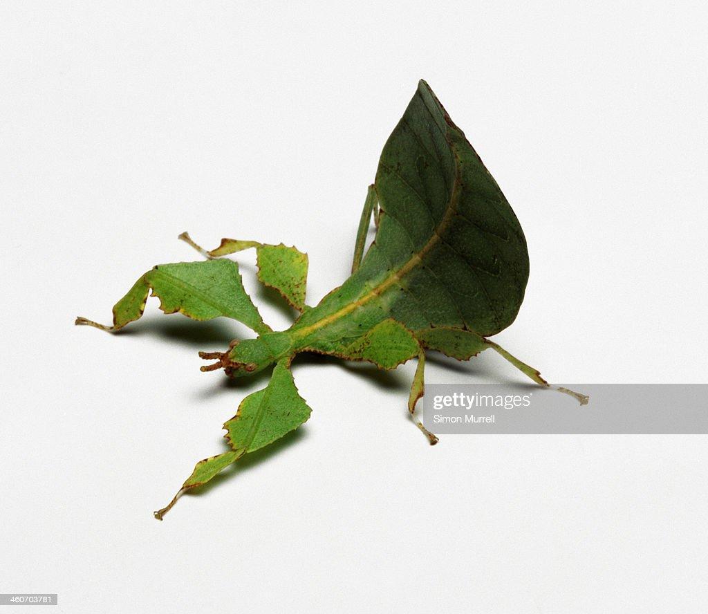 Leaf Insect, studio shot