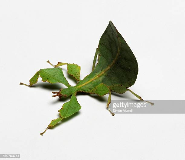 Leaf Insect, studio shot