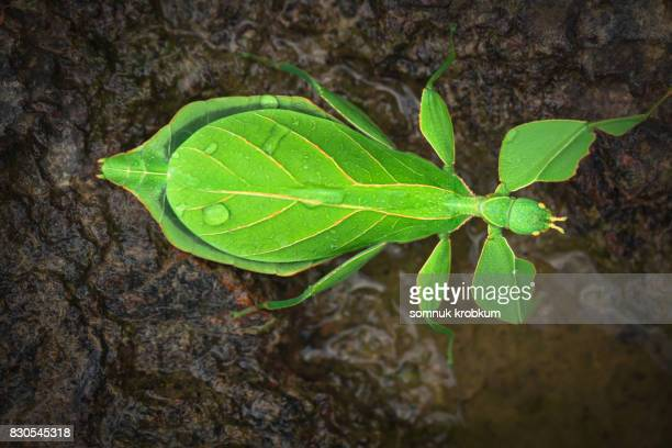 Leaf insect with raindrops