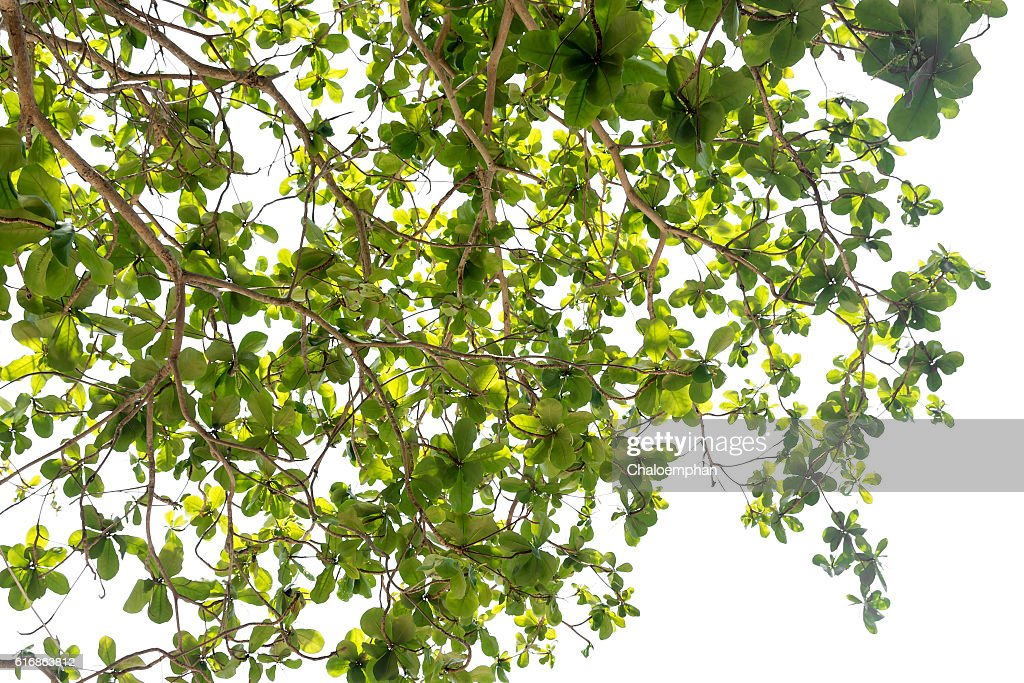 Leaf isolated : Stock Photo