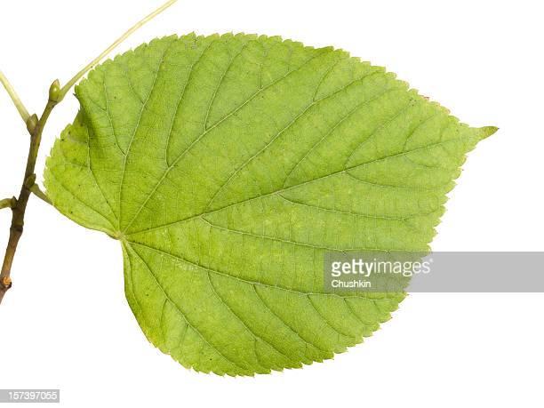Leaf of a Lime-tree