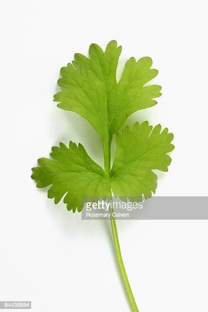 Leaf of coriander.
