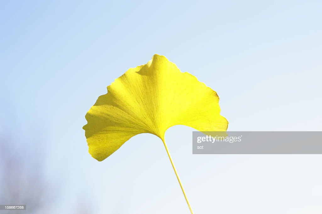 Leaf of ginkgo