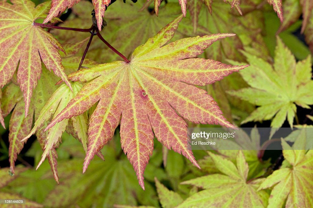 Leaf of Japanese Maple tree, Autumn Moon. Acer shiriasawanum. Shirasawa Maple. Most widely grown maples in gardens. Delicate foliage, brilliant fall coloring. Raulston Arboretum, Raleigh, North Carolina. USA : Stock Photo