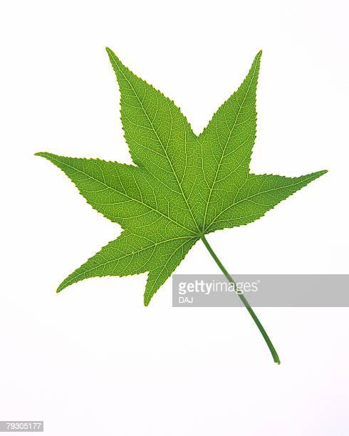 Leaf of Maple, High Angle View, Close Up