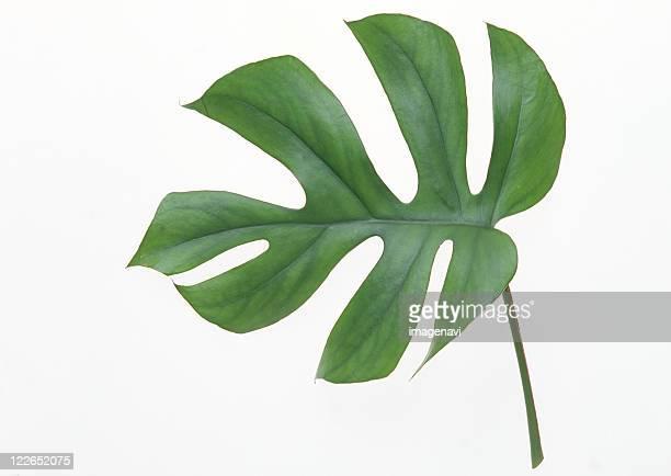 A leaf of Monstera deliciosa